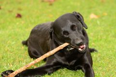 Dog chewing a stick Stock Image