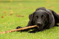 Dog chewing a stick Royalty Free Stock Photo