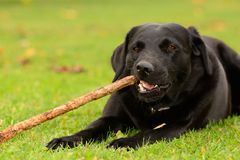 Dog chewing a stick Stock Photos