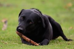 Dog chewing a stick Stock Images