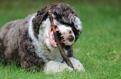 Dog Chewing a Stick royalty free stock photography