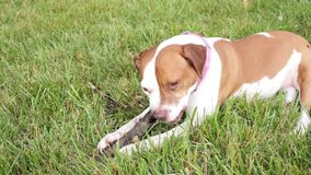 Dog chewing stick stock video footage