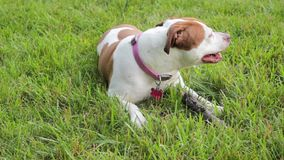 Dog chewing stick Royalty Free Stock Images