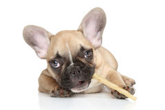 Dog chewing a stick Royalty Free Stock Image