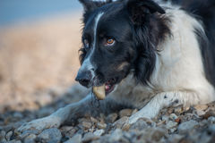 Dog chewing stone. Border collie lying on the shore and chewing stone Stock Image
