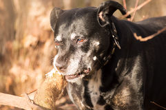 Dog chewing on a tree. Black american stafford shire chewing on a tree in a autumn colored forest Stock Photo