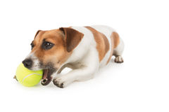 Dog is chewing yellow tennis ball. Jack Russel terrier puppy is playing with toy on white. Studio shot Royalty Free Stock Photography