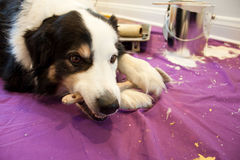 Dog chews paint brush. A dog lays on a drop cloth chewing on a paint brush, paint supplies are in the background Royalty Free Stock Photos