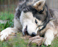 Dog chews a piece of wood Stock Photos