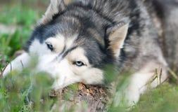 Dog chews a piece of wood Stock Photo