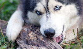 Dog chews a piece of wood Royalty Free Stock Photography