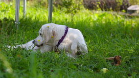Dog chews a stick on the grass stock video footage