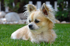 A dog - Chihuahua Stock Images