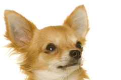 Dog (chihuahua) Royalty Free Stock Images