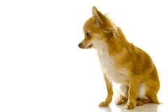 Dog (chihuahua) Royalty Free Stock Photography