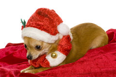 Dog (chihuahua) Stock Photography