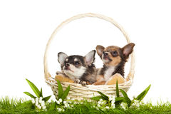 Dog chihuahua in basket on green gras isolated on white background Stock Photos