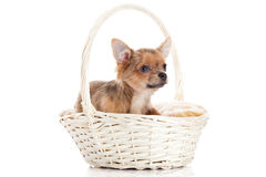 Dog chihuahua in basket isolated on white background Royalty Free Stock Photography