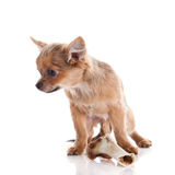Dog chihuahua and bone isolated on white background Royalty Free Stock Photography