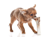 Dog chihuahua and bone isolated on white background Royalty Free Stock Photos