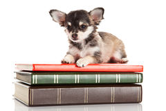 Dog chihuahua with books isolated on white background education knowledge Stock Photo