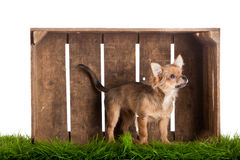 Dog chihuahua in box isolated on white background Stock Photography