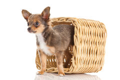 Dog chihuahua in box isolated on white background pet Stock Photography