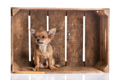 Dog chihuahua in box isolated on white background Royalty Free Stock Images
