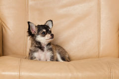 Dog chihuahua on an chair small dog pet Stock Image