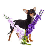 Dog chihuahua and flowers isolated on white background Royalty Free Stock Photography