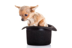 Dog chihuahua and hat  isolated on white background Stock Image