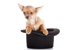 Dog chihuahua and hat  isolated on white background funny pet Stock Image