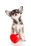 Dog chihuahua heart isolated on white background with love Stock Images