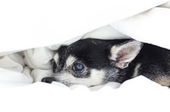 Dog Chihuahua hiding under the quilt Stock Image