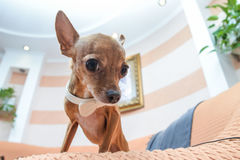 Dog Chihuahua in holiday attire. In the house Royalty Free Stock Photo