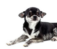 Dog ( chihuahua ) ,isolated Royalty Free Stock Photos