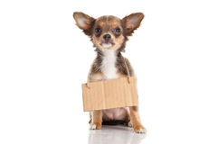 Dog chihuahua isolated on white background animal concept for design Stock Image