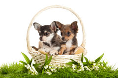 dog chihuahua isolated on white background in basket on green gass spring season Stock Images