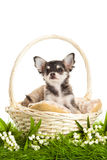 Dog chihuahua isolated on white background in basket on green grass Stock Photography