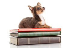 Dog chihuahua isolated on white background book knowledge Stock Photos