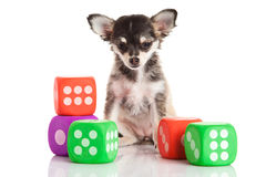 Dog chihuahua isolated on white background dice Royalty Free Stock Photography