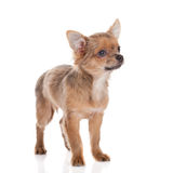 Dog chihuahua isolated on white background domestic animal Royalty Free Stock Image
