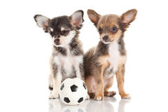 Dog chihuahua isolated on white background football soccer sport object Royalty Free Stock Photography