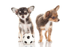 Dog chihuahua isolated on white background football sport concept soccer Royalty Free Stock Photography