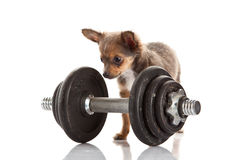 Dog chihuahua isolated on white background gym sport object Stock Photo