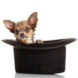 Dog chihuahua isolated on white background hat accesories Stock Photos