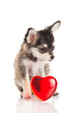 Dog chihuahua isolated on white background heart Royalty Free Stock Photography
