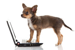 Dog chihuahua isolated on white background laptop modern technology Royalty Free Stock Images