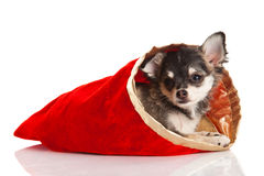Dog chihuahua isolated on white background nice gift Stock Photos
