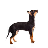 Dog chihuahua isolated on white background pet Stock Photos